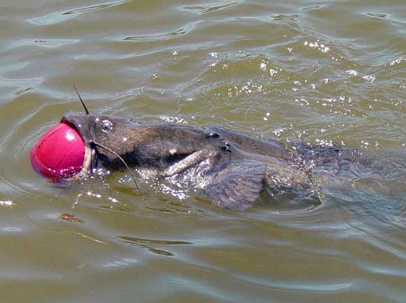 Catfish with basketball in his mouth tries to swim