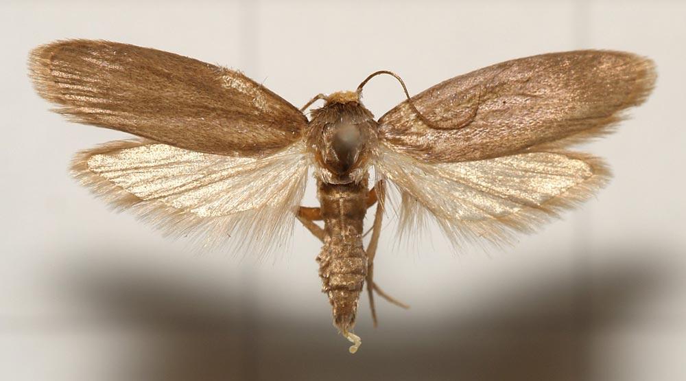 Lesser wax moth (Achroia grisella )