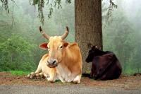 MT Kailash: Cows
