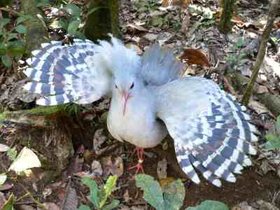 Kagu bird display