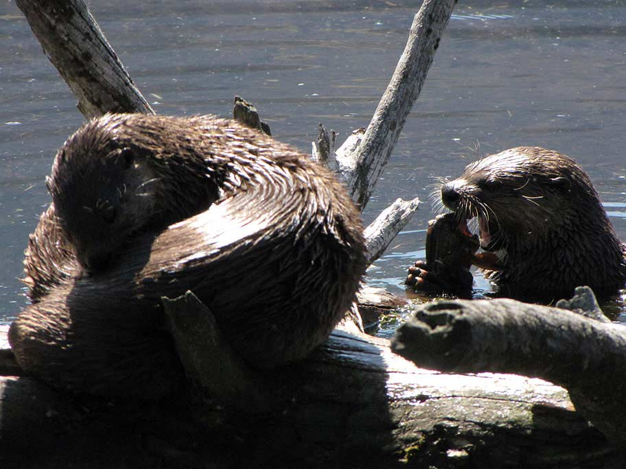 Two otters in Yellowstone Park