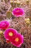 Prickly Pear cactus, Great Basin Desert in Nevada
