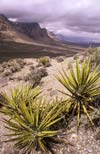 Yuccas just west of Las Vegas, Mt. Charleston (11,918 feet), the highest in the Spring Mountains