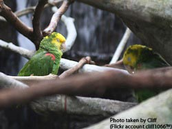 Yellow-headed Parrot, Pasadena, California