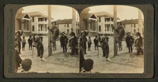 New York Public Library stereogram photo: Acrobats far from their mountain home -- grizzly bears in a street at Jacksonville, Florida