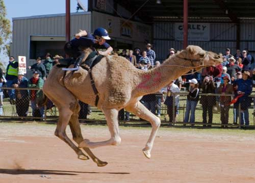 Glenda racing camel